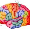 הושלם אטלס המוח האנושי